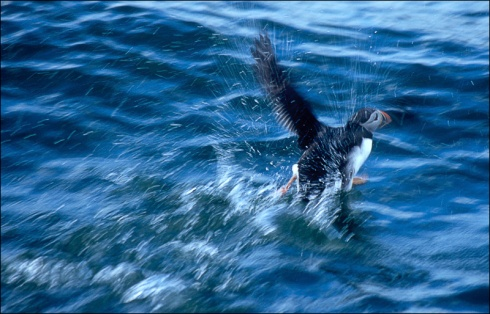 puffin on the run