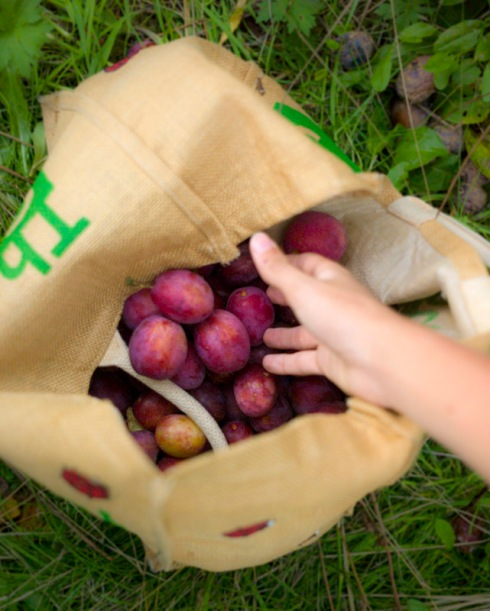 Enough plums to feed an army