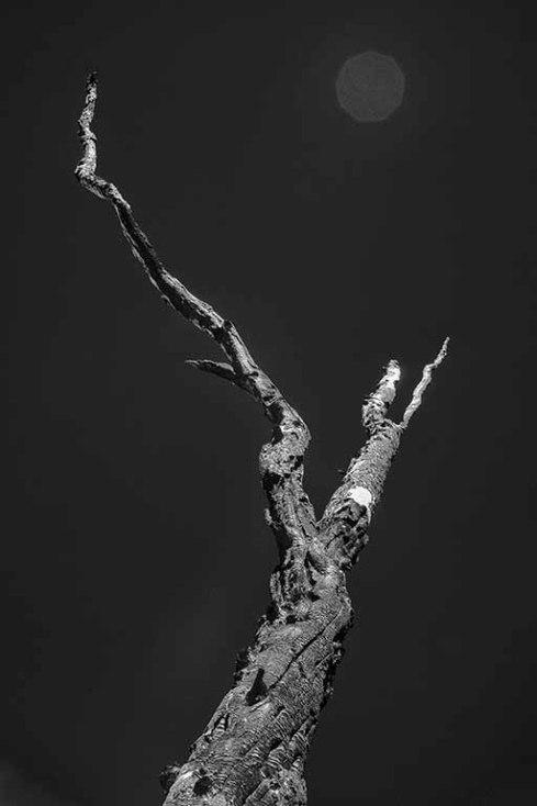 Ponderosa pine, dead