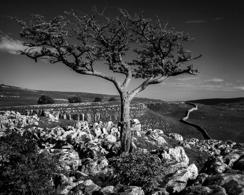 Conistone tree