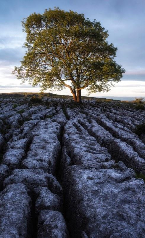Midge infested Malham Tree