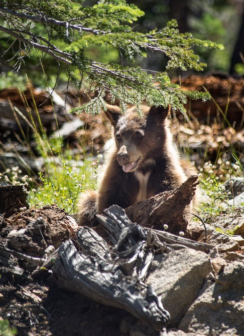 Brown bear, Yosemite